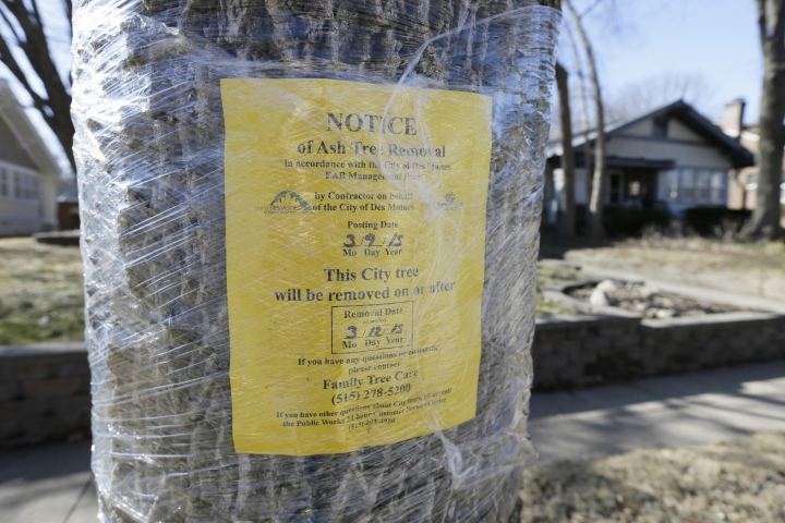 FILE - In this Monday, March 9, 2015 file photo, a notice of removal is attached to an ash tree in Des Moines, Iowa. Daunted by the cost and difficulty of stopping the emerald ash borer, many cities are choosing to destroy their trees before the insect can. (AP Photo/Charlie Neibergall)