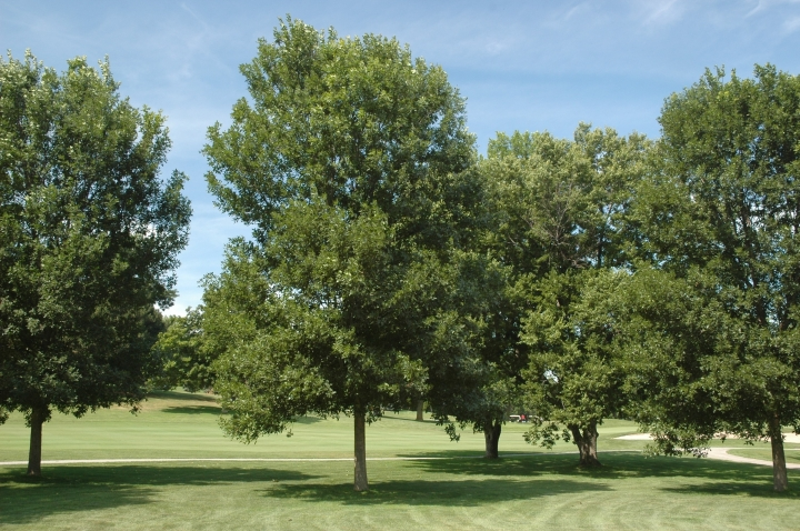 This undated photo provided by the Morton Arboretum in September 2012 shows green ash trees (Fraxinus pennsylvanica). On Thursday, Sept. 14, 2017, the International Union for the Conservation of Nature said five prominent species of ash tree in the eastern U.S. have been driven to the brink of extinction from years of lethal attack by the ash borer beetle. (Morton Arboretum via AP)