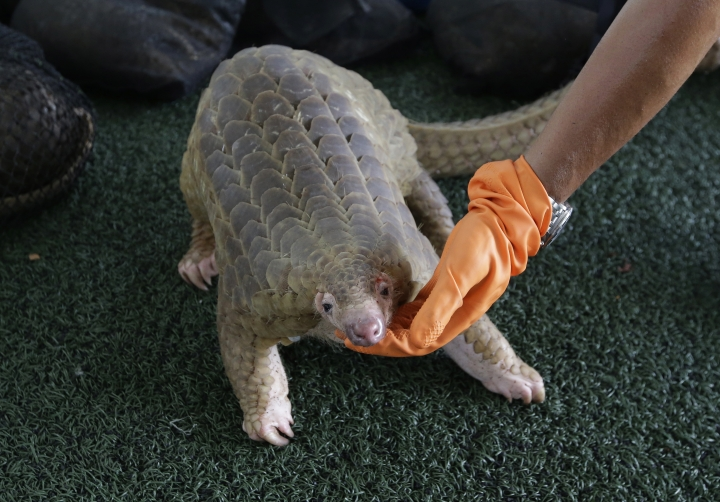 """FILE - In this Aug. 31, 2017, file photo, a customs official displays one of the 136 illegal pangolins it seized, during a press conference at the Customs Department headquarters in Bangkok, Thailand. With wildlife trafficking escalating worldwide, some countries are starting to """"follow the money"""" in an effort to track down the kingpins financing crime rings. The United Nations urged the world's countries to adopt laws that allow wildlife crimes to be investigated by money laundering agents who can have assets seized. (AP Photo/Sakchai Lalit, File)"""