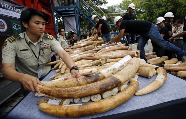 """FILE - In this Aug. 26, 2015, file photo, officials arrange seized elephant tusks to be displayed before destruction in Bangkok, Thailand. With wildlife trafficking escalating worldwide, some countries are starting to """"follow the money"""" in an effort to track down the kingpins financing crime rings. The United Nations urged the world's countries to adopt laws that allow wildlife crimes to be investigated by money laundering agents who can have assets seized. (AP Photo/Sakchai Lalit, File)"""