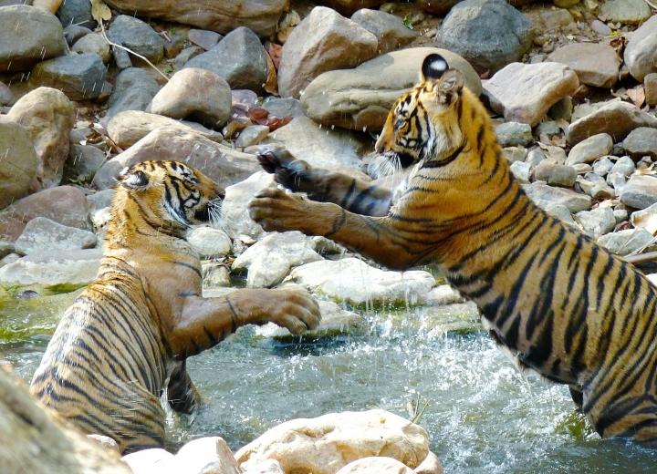 In this May 10, 2017 photo, one-year-old tiger cubs are shown roughhousing with one another in a shallow stream in Ranthambore National Park in northern India. Their play appears violent but note that their claws are not extended. Wildlife sightings are opportunistic and require a certain degree of luck—especially for tigers in India. (Dean Fosdick via AP)