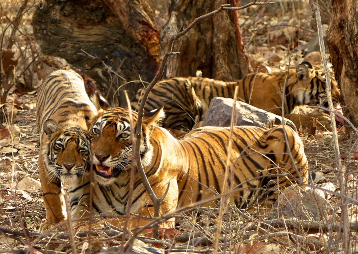 In this May 11, 2017 photo, a female tiger at Ranthambore National Park in northern India gets some love from one of her three one-year-old cubs after bringing down a spotted deer during the night for her family to eat. Wildlife sightings are opportunistic and require a certain degree of luck—especially for tigers in India. (Dean Fosdick via AP)