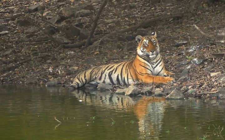 This May 9, 2017 photo shows Arrowhead, a young female Bengal tiger, lazing by the edge of a lake on a day when temperatures topped out at 115 degrees Fahrenheit in Ranthambore National Park in northern India. Wildlife sightings are opportunistic and require a certain degree of luck—especially for tigers in India. (Dean Fosdick via AP)