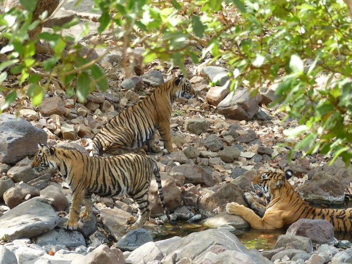 In this May 10, 2017 photo, a family of year-old tiger cubs rest in the shade and dip occasionally into a shallow stream to cool off at Ranthambore National Park in northern India. Cubs generally separate and find their own territory around two years of age. Wildlife sightings are opportunistic and require a certain degree of luck—especially for tigers in India. (Dean Fosdick via AP)