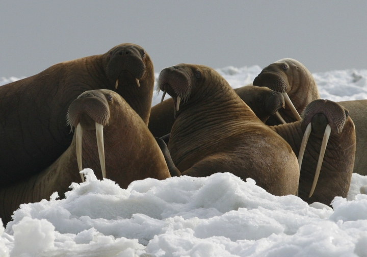 FILE - In this April 18, 2004, file photo provided by the U.S. Fish and Wildlife Service, Pacific walrus cows and yearlings rest on ice in Alaska. The Trump administration will not add Pacific walrus to the threatened species list. The U.S. Fish and Wildlife Service announced Wednesday, Oct. 4, 2017, that it can't say with certainty that walrus are likely to become endangered despite an extensive loss of Arctic sea ice due to global warming. (Joel Garlich-Miller/U.S. Fish and Wildlife Service via AP, File)