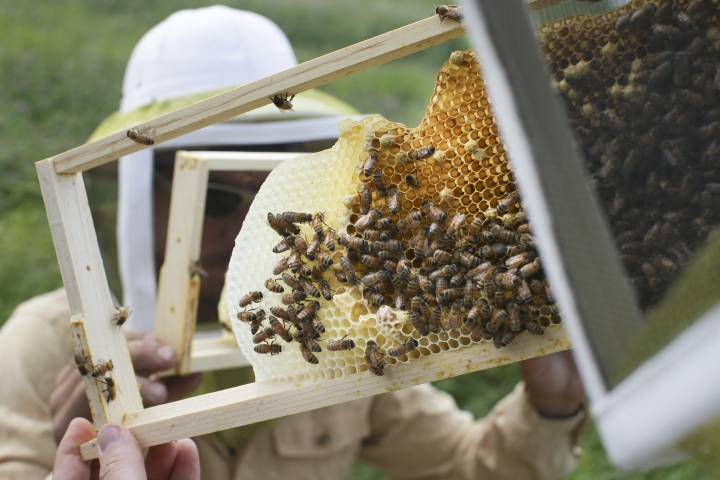 FILE - In this May 27, 2015 file photo, volunteers check honey bee hives for queen activity and perform routine maintenance as part of a collaboration between the Cincinnati Zoo and TwoHoneys Bee Co. at EcOhio Farm in Mason, Ohio. A new study published Thursday, Oct. 5, 2017, in the journal Science found something in the world's honey that is not quite expected or sweet: the controversial pesticides called neonicotinoids. Scientists say it is not near levels that would come close to harming humans, but it is a big worry for bees, which already are in trouble. (AP Photo/John Minchillo, File)