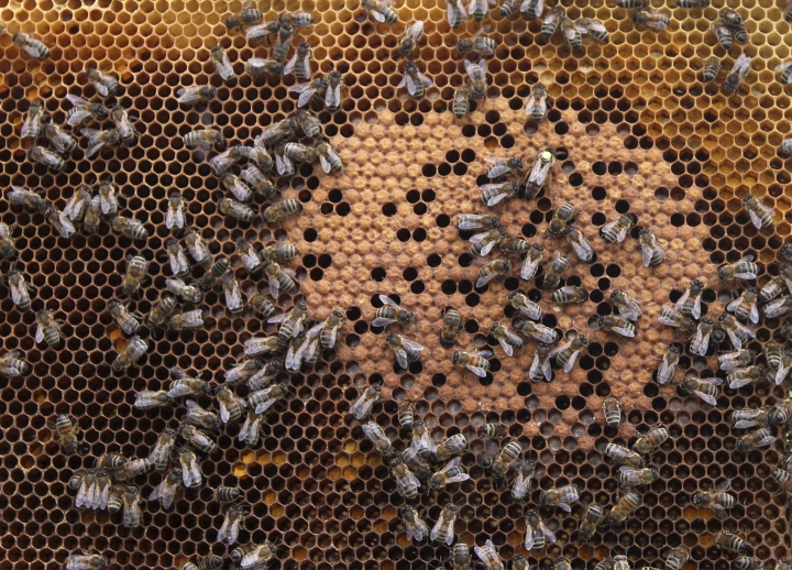 FILE - In this April 15, 2013 file photo, honey bees and the queen (with yellow dot) sit on a honeycomb in Wezembeek-Oppem near Brussels. A new study published Thursday, Oct. 5, 2017, in the journal Science found something in the world's honey that is not quite expected or sweet: the controversial pesticides called neonicotinoids. Scientists say it is not near levels that would come close to harming humans, but it is a big worry for bees, which already are in trouble. (AP Photo/Yves Logghe, File)