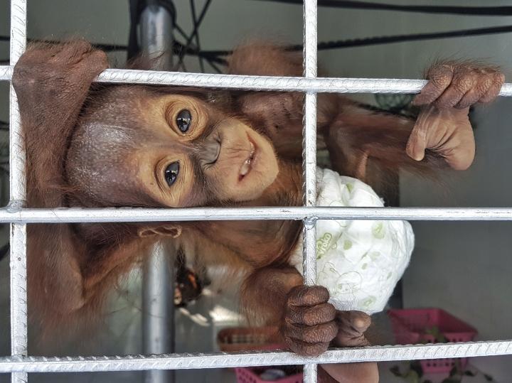 In this Friday, Oct. 13, 2017, photo released by Borneo Orangutan Survival (BOS) Foundation, a recently rescued baby orangutan clings on its cage at Nyaru Menteng Orangutan Rehabilitation Center in Central Kalimantan, Indonesia. An Indonesian conservation group says the discovery of two orphaned baby orangutans on Borneo within two days is further evidence that deforestation and illegal hunting are threatening survival of the great apes. (Bjorn Vaughn, BPI/BOS Foundation via AP)