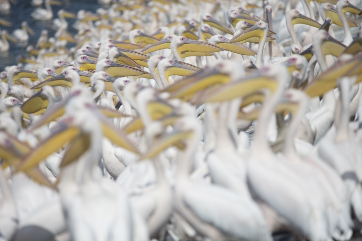 In this photo taken on Sunday, Oct. 15, 2017, Great White Pelicans gather in Mishmar HaSharon reservoir in Hefer Valley, Israel. Thousands of Pelicans stop in the reservoir for food provided by the Israeli nature reserves authority as they make their way to Africa. (AP Photo/Ariel Schalit)