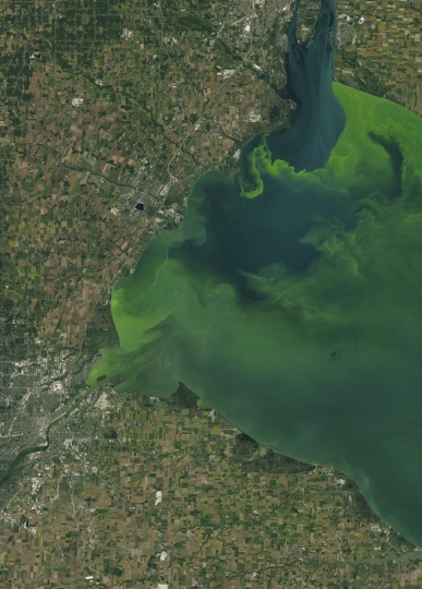This Sept. 26, 2017 satellite image made available by NASA shows Toledo, Ohio in the lower left corner with a large phytoplankton bloom in western Lake Erie. According to the National Oceanic and Atmospheric Administration, the bloom contains microcystis, a type of freshwater cyanobacteria. These phytoplankton produce toxins that can contaminate drinking water and pose a risk to human and animal health when there is direct contact. This natural-color image was captured by the Operational Land Imager (OLI) on the Landsat 8 satellite. (NASA via AP)