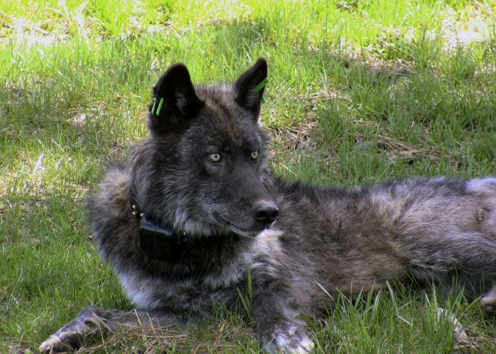 In this May 19, 2011, photo provided by the Oregon Department of Fish and Wildlife, Imnaha wolf pack's alpha male OR-4 is shown after being refitted with a working GPS collar in Wallowa County east of Joseph, Ore. It's a political debate playing out against the backdrop of a rapidly growing wolf population, a jump in wolf poaching and demands from ranchers and hunters who say the predators are decimating herds and spooking big game. (Oregon Department of Fish and Wildlife via AP)
