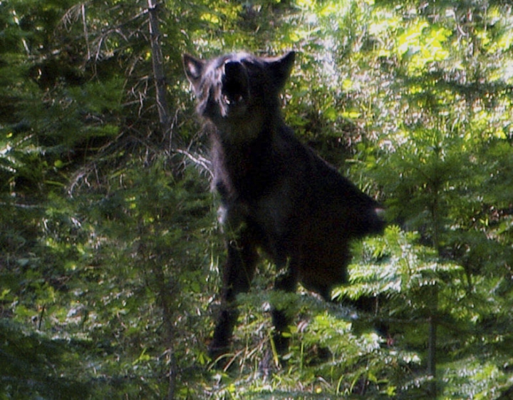 This Aug. 20, 2009, photo provided by the Oregon Department of Fish and Wildlife shows what ODFW believes is the alpha male OR-4 that bred with B-300 to produce the Imnaha wolf pack in the Imnaha Unit in northeast Oregon's Wallowa County near Joseph, Ore. It's a political debate playing out against the backdrop of a rapidly growing wolf population, a jump in wolf poaching and demands from ranchers and hunters who say the predators are decimating herds and spooking big game. (Oregon Department of Fish and Wildlife via AP)