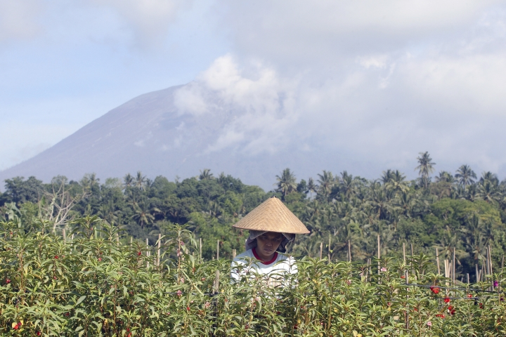 A woman collects flowers during harvesting with a backdrop of the Mount Agung volcano covered by clouds in Karangasem, Bali, Indonesia, Monday, Dec. 4, 2017. Gushing ash from Bali's Mount Agung volcano has dissipated into a wispy plume of steam. Indonesia's disaster mitigation agency said Monday the volcano remains at its highest alert level but most of Bali is safe for tourists. (AP Photo/Firdia Lisnawati)