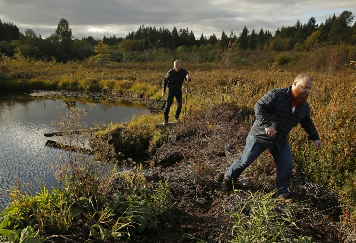 In this Oct. 16, 2017 photo, Matt Hofmann, right, the Master Distiller at Westland Distillery, and Steve Hawley, left, Westland's director of marketing, walk carefully through a peat bog on Washington state's Olympic Peninsula near Shelton, Wash. Westland is taking an unusual step for America's booming spirits industry: making a whiskey using smoke from peat grown locally in Washington state. (AP Photo/Ted S. Warren)