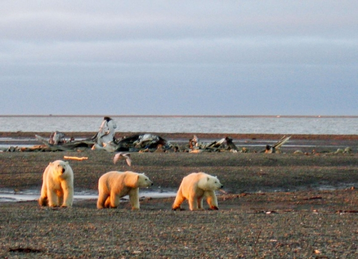 Three polar bears are seen on the Beaufort Sea coast within the 1002 Area of the Arctic National Wildlife Refuge in this undated handout photo provided by the U.S. Fish and Wildlife Service Alaska Image Library on December 21, 2005. U.S. Fish and Wildlife Service Alaska Image Library/Handout via REUTERS