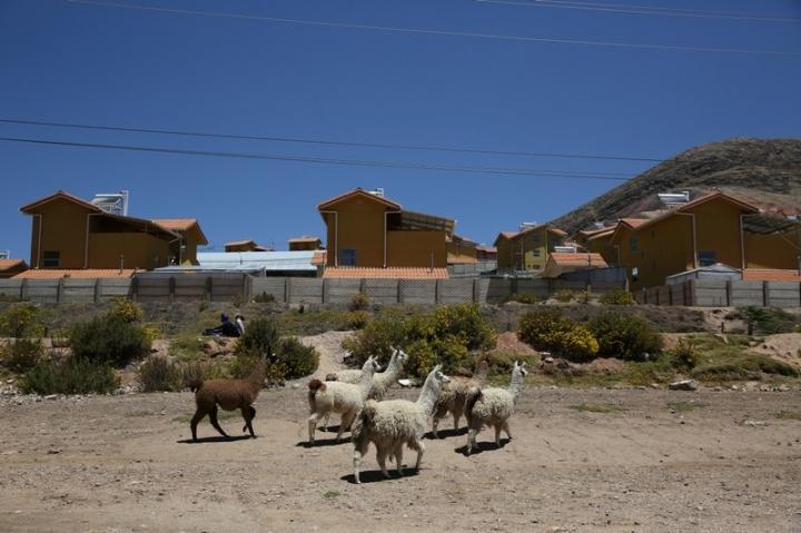 Llamas walk in a garden in the town of Nueva Fuerabamba in Apurimac, Peru, October 3, 2017. REUTERS/Mariana Bazo