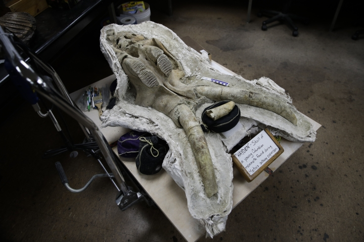In this Aug. 15, 2017, photo, a skull of a young Columbian mammoth found at the construction site of the Metro Purple Line extension is placed on a cart at the La Brea Tar Pits and Museum in Los Angeles. The Los Angeles subway system is expanding and so too are the number of prehistoric fossils being recovered as crews dig beneath the city. (AP Photo/Jae C. Hong)