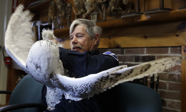In this Dec. 11, 2017 photo, Norman Smith, director of Mass Audubon's Blue Hills Trailside Museum, hangs onto the legs of a snowy owl, which was trapped at Boston's Logan Airport, in Milton, Mass. The owl is one of 14 trapped so far this winter at the airport and moved to the beach on Cape Cod Bay. The large white raptors from the Arctic have descended on the northern U.S. in huge numbers in recent weeks, giving researchers opportunities to study them. (AP Photo/Charles Krupa)