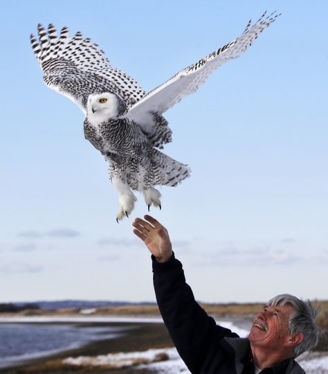 In this Dec. 14, 2017 photo, Norman Smith, director of Mass Audubon's Blue Hills Trailside Museum, releases a snowy owl along the shore of Duxbury Beach in Duxbury, Mass. The owl is one of 14 trapped so far this winter at Boston's Logan Airport and moved to the beach on Cape Cod Bay. The large white raptors from the Arctic have descended on the northern U.S. in huge numbers in recent weeks, giving researchers opportunities to study them. (AP Photo/Charles Krupa)