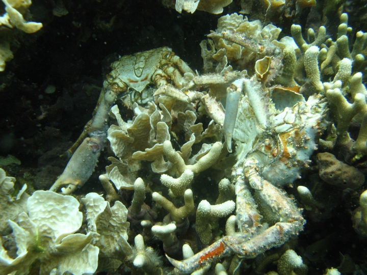 In this 2010 photo provided by the Smithsonian Institution, corals and crabs lie dead from low oxygen in Bocas del Toro, Panama. A study released on Thursday, Jan. 4, 2018 finds that oxygen levels dropping in the world's oceans, choking large areas, is worsening and more of a complex problem than previously thought. (Arcadio Castillo/Smithsonian via AP)
