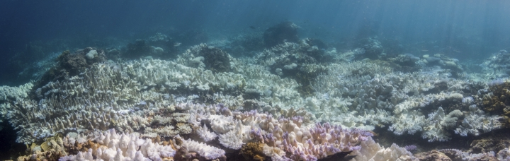 This 2017 photo provided by NOAA shows bleached coral in Guam. A study released on Thursday, Jan. 4, 2018 finds that severe bleaching outbreaks are hitting coral reefs four times more often they used to a few decades earlier. (David Burdick/NOAA via AP)