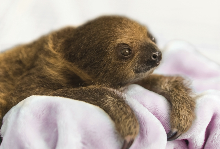 """This Dec. 8, 2017, photo provided by the National Aviary shows a female Linnaeus' two-toed sloth born Aug. 21, 2017, named Vivien after """"Gone with the Wind"""" actress Vivien Leigh and hand-raised to serve as an educational ambassador for the National Aviary in Pittsburgh. Caretakers at Pittsburgh's indoor zoo dedicated to birds began displaying the baby sloth for National Aviary visitors on Tuesday, Jan. 9, 2018, with public appearances scheduled during a regular feeding time at 12:30 p.m. daily. (Jamie Greene/National Aviary for AP)"""