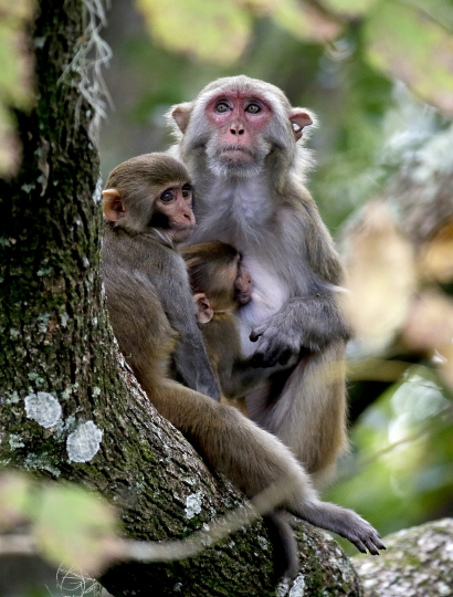 In this Friday, Nov. 10, 2017 photo, a rhesus macaques monkey and her offspring observe kayakers as they navigate along the Silver River in Silver Springs, Fla. Wildlife managers in Florida say they want to remove the roaming monkeys from the state in light of a new study published Wednesday, Jan. 10, 2018, that finds some of the animals are excreting a virus that can be dangerous to humans. (AP Photo/John Raoux)