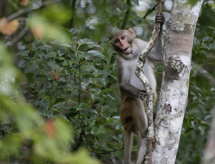 In this Friday, Nov. 10, 2017 photo, a rhesus macaques monkey observes kayakers as they navigate along the Silver River in Silver Springs, Fla. Wildlife managers in Florida say they want to remove the roaming monkeys from the state in light of a new study published Wednesday, Jan. 10, 2018, that finds some of the animals are excreting a virus that can be dangerous to humans. (AP Photo/John Raoux)