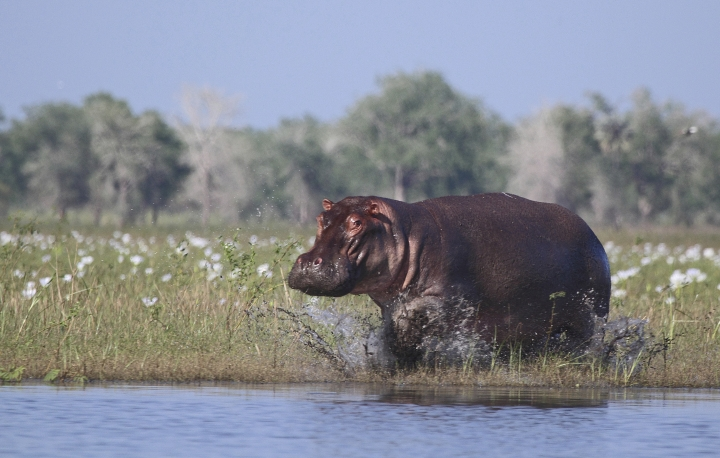 In this 2014 photo provided by Joshua Daskin, a hippopotamus charges into the waters of Lake Urema, in Gorongosa National Park, Mozambique. Although some animals are killed in the crossfire or by mines, war primarily changes social and economic conditions in a way that make it tough on animals, said study co-author Rob Pringle, an ecologist at Princeton University. Gorongosa's hippos and other wildlife were devastated by civil war in the 1980s and 90s, but have recovered dramatically over the past decade thanks to a pioneering effort by the Mozambican Government to enlist conservationists, scientists, and local communities in ecological restoration. (Joshua Daskin via AP)