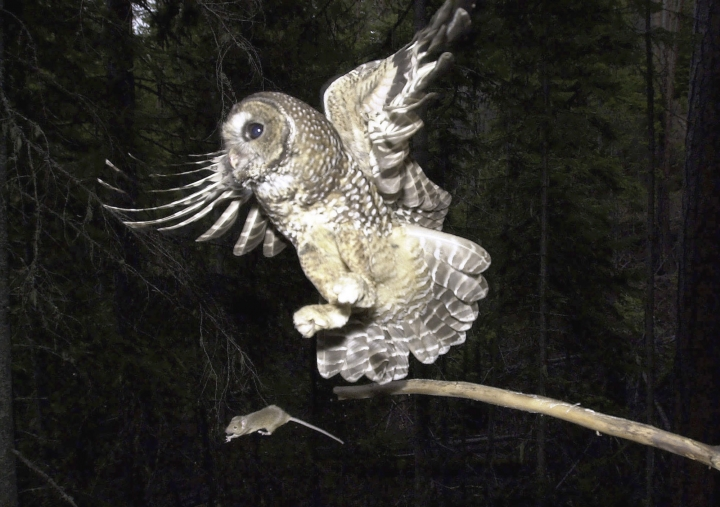 FILE - In this May 8, 2003, file photo, a Northern Spotted Owl flies after an elusive mouse jumping off the end of a stick in the Deschutes National Forest near Camp Sherman, Ore. A new study said rat poison from pot farms in California forests appears to be poisoning endangered Northern spotted owls. Scientists for the University of California at Davis and the California Academy of Sciences published the study Thursday, Jan. 11, 2018, in the journal Avian Conservation and Ecology. (AP Photo/Don Ryan, File)