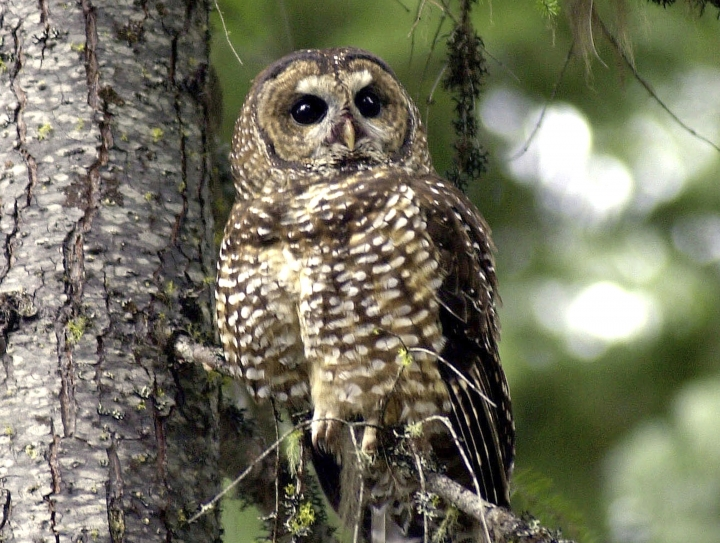 FILE - In this May 8, 2003, file photo, a northern spotted owl sits on a tree branch in the Deschutes National Forest near Camp Sherman, Ore. A federal appeals court in San Francisco has upheld a plan by wildlife officials to kill one type of owl to study its effect on another type of owl. (AP Photo/Don Ryan, File)
