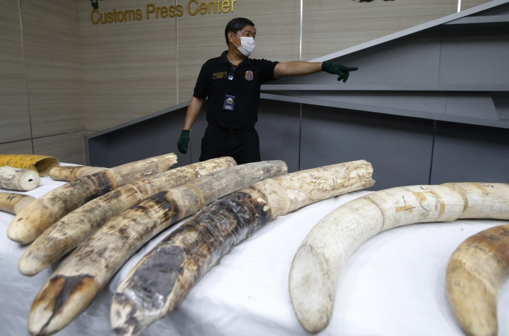 A Thai customs official displays seized ivory during a press conference in Bangkok, Thailand, Friday, Jan. 12, 2018. Thai authorities seized 148 kilograms full elephant tusk and 31 tusk fragments originating from Nigeria destined for China worth over 15 million baht ($469,800). (AP Photo/Sakchai Lalit)