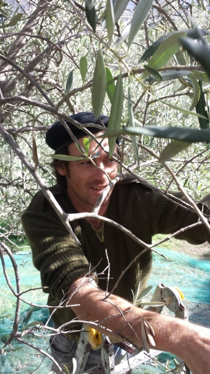 This Nov. 8, 2017 photo shows writer Cain Burdeau picking olives by hand during his first olive harvest in Contrada Petraro in north-central Sicily. Despite a bad drought in Italy, the trees on a property his wife, Audrey Rodeman, and he bought outside Castelbuono, Sicily, bore enough fruit to make beautifully peppery olive oil. (AP Photo/Cain Burdeau)