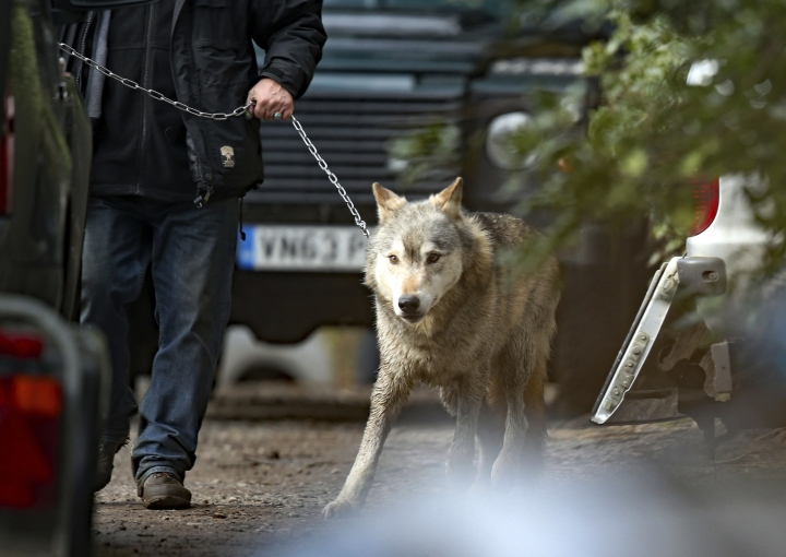 A wolf that escaped from the UK Wolf Conservation Trust's premises in Reading, England, is led by a handler after being recaptured, Thursday Jan. 18, 2018. Witnesses said the wolf got free after strong winds knocked down a fence at the UK Wolf Conservation Trust near Reading. (Steve Parsons/PA via AP)