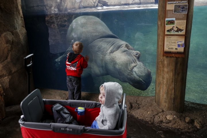 Bibi, mother of Fiona, a baby Nile Hippopotamus, swims in her enclosure as Nolyn Hanley, left, and A.J. visit the Cincinnati Zoo & Botanical Garden, Wednesday, Jan. 10, 2018, in Cincinnati. Fiona, born six weeks prematurely at 29 pounds, well below the common 50-100 pound range, and required nonstop critical care by zookeepers to ensure her survival has become a international celebrity. She will reach her first birthday on Jan. 24. (AP Photo/John Minchillo)