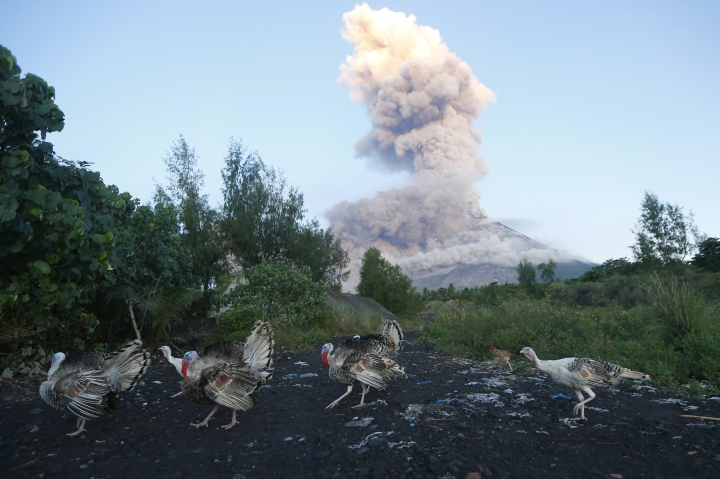 A flock of turkeys searches for food amidst an erupting Mayon volcano as seen from Legazpi city, Albay province, around 340 kilometers (200 miles) southeast of Manila, Philippines, Wednesday, Jan. 24, 2018. Lava fountaining regularly from the Philippines' most active volcano has flowed up to 3 kilometers (1.86 miles) from the crater in a dazzling but increasingly dangerous eruption. Mount Mayon has spewed lava up to 600 meters (2,000 feet) high at times Tuesday and early Wednesday and its ash plumes stretched up to 5 kilometers (3 miles) above the crater. (AP Photo/Bullit Marquez)