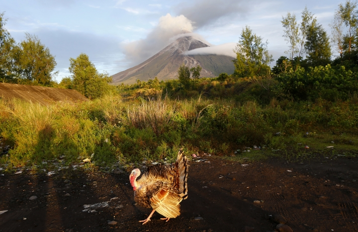 A turkey searches for food during a mild eruption of the Mayon volcano at sunrise, Thursday, Jan. 25, 2018 outside Legazpi city, Albay province, roughly 340 kilometers (200 miles), southeast of Manila, Philippines. The Mayon volcano has been erupting for almost two weeks in the Philippines still appears to be swelling with magma under the surface, scientists said Thursday. (AP Photo/Bullit Marquez)