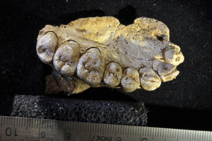 This undated photo provided by researcher Gerhard Weber shows a portion of the upper left jaw and teeth from the Misliya-1 fossil. Researchers found the jawbone in an Israeli cave, indicating that modern humans left Africa as much as 100,000 years earlier than previously thought. (Gerhard Weber/University of Vienna via AP)