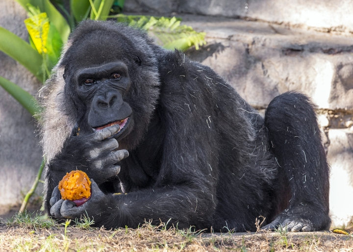 This undated photo provided by the San Diego Zoo Safari Park shows Vila, an African gorilla. Considered to be one of the world's oldest gorillas, Vila died Thursday, Jan. 25, 2018 at the park in Escondido, Calif. The park says Vila, who turned 60 last October, died Thursday surrounded by members of her family troop. Authorities say she was the matriarch of five generations of gorillas and during her life served as a surrogate mother for several western lowland gorillas. (Ken Bohn/San Diego Zoo Safari Park via AP)