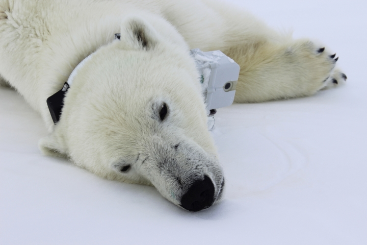 This April 20, 2015 photo provided by Busch Gardens shows a polar bear wearing a GPS video-camera collar lying on a chunk of sea ice in the Beaufort Sea. A new study released on Thursday, Feb. 1, 2018 shows some polar bears in the Arctic are shedding pounds during the time they are supposed to be beefing up. Scientists blame climate change for shrinking the ice cover on the Arctic Ocean that the polar bears need for hunting.(Maria Spriggs/Busch Gardens via AP)