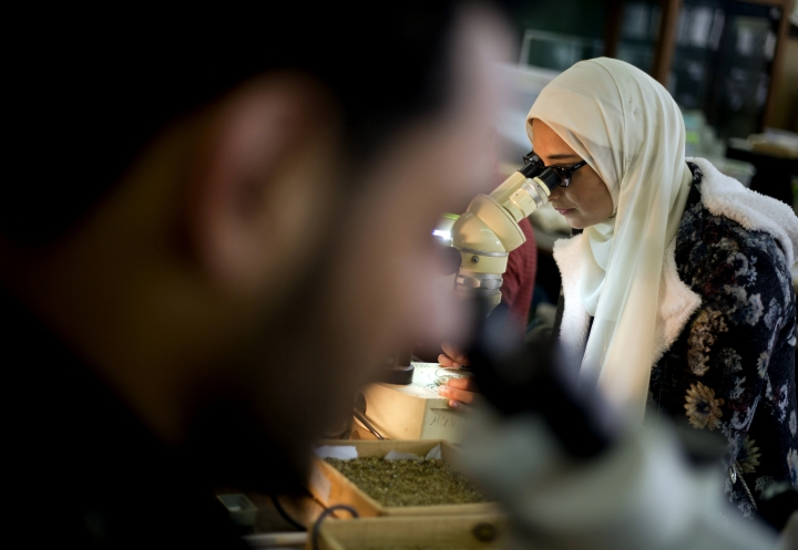 In this Saturday, Feb. 3, 2018 photo, paleontologist Sanaa al-Sayed, who was involved in Mansoura university's excavation of a Cretaceous period dinosaur, looks through a microscope at a laboratory in Mansoura, Egypt. Researchers from the university discovered a new species of long-necked herbivore, which is around the size of a city bus, in the western desert of Egypt. It could be just the tip of the iceberg of other finds and experts say the discovery could shed light on a particularly obscure period of history for the African continent. (AP Photo/Amr Nabil)