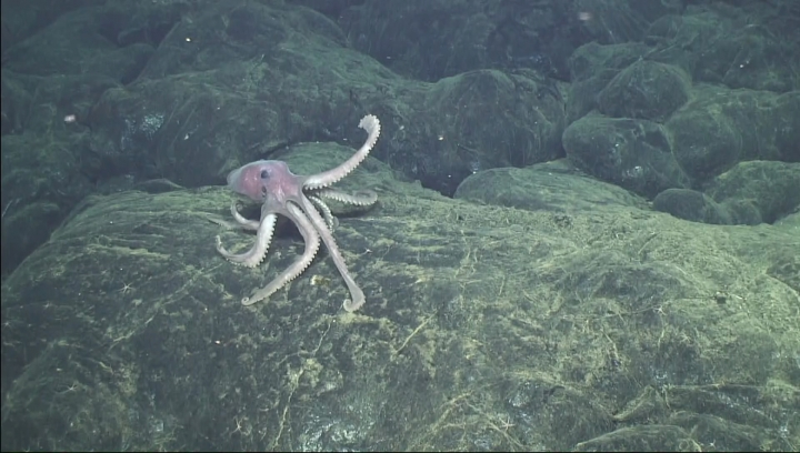 In this 2015 image provided by the Woods Hole Oceanographic Institution, a deep-sea octopus explores new lava flows that erupted at the Axial Seamount 480 kilometers (300 miles) west of Oregon. At the time, this was probably the youngest seafloor on the planet. (Bill Chadwick/Oregon State University, ROV Jason, Woods Hole Oceanographic Institution via AP)
