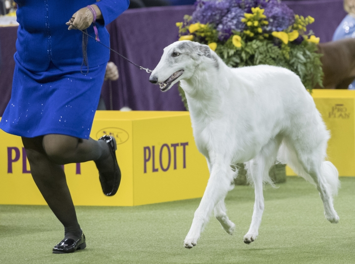 Lucy, a borzoi, is shown in the ring during the Hound group competition during the 142nd Westminster Kennel Club Dog Show, Monday, Feb. 12, 2018, at Madison Square Garden in New York. Lucy won best in group. (AP Photo/Mary Altaffer)