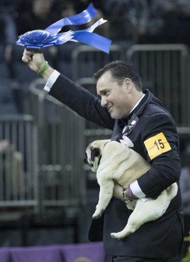 Esteban Farias waves the blue ribbon after Biggie, a pug, wins best in Toy group during the 142nd Westminster Kennel Club Dog Show, Monday, Feb. 12, 2018, at Madison Square Garden in New York. Biggie won best in group. (AP Photo/Mary Altaffer)