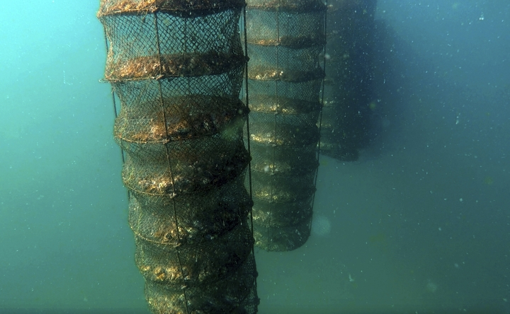 In this Jan. 23, 2018 frame grab from video, lantern nets holding oysters inside hang underwater at the Dibba Bay Oyster Farm, in Dibba, United Arab Emirates. The waters of the Persian Gulf have long been home to pearl oysters. Now, off the shores of the Fujairah, an emirate with a coastline that juts out into the Gulf of Oman, a new type of oyster is thriving -- the edible kind. (AP Photo/Fay Abuelgasim)
