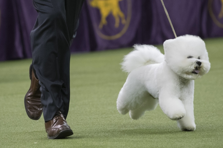Handler Bill McFadden shows Flynn, a bichon frise, in the best in show competition during the 142nd Westminster Kennel Club Dog Show, Tuesday, Feb. 13, 2018, at Madison Square Garden in New York. Flynn won best in show. (AP Photo/Mary Altaffer)