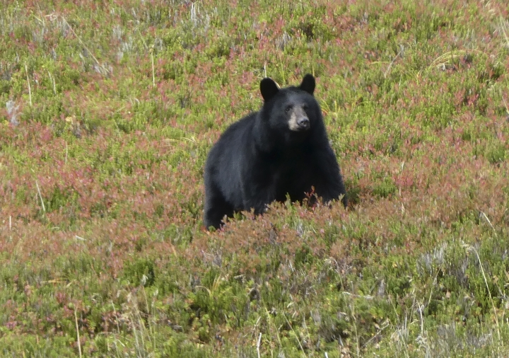 FILE- In this October 2017 file photo, a black bear walks in Granite Basin, amid low-lying blueberry thickets, in Juneau, Alaska. A study of bears and berries has determined that the big animals are the main dispersers of fruit seeds in southeast Alaska. The study by Oregon State University researchers says it's the first instance of a temperate plant being primarily dispersed by mammals through their excrement rather than by birds. (AP Photo/Becky Bohrer)