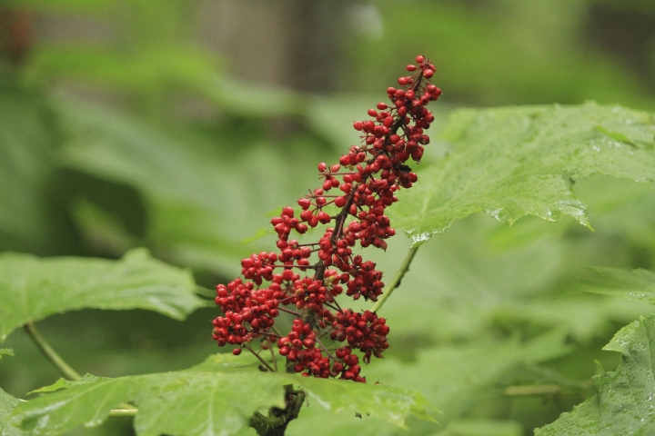 FILE - In this Aug. 23, 2017 file photo, red berries ripen on a devil's club plant in Anchorage, Alaska. A study by Oregon State researchers of wildlife and devil's club outside Haines, Alaska, concludes that brown and black bears, not birds are the main dispersers of fruit seeds through their scat in southeast Alaska. (AP Photo/Dan Joling, File)