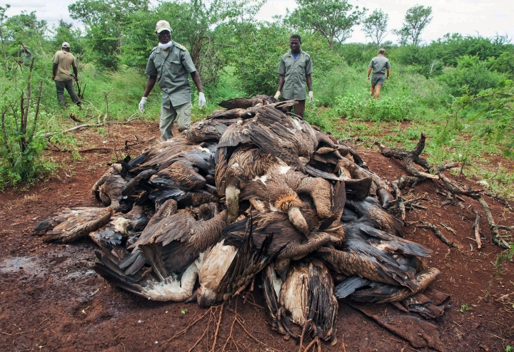 In this photo provided by the Endangered Wildlife Trust and taken on Sunday, Feb. 25, 2018, the corpses of poisoned vultures are piled up in the Mbashene communal area in Mozambique. Conservationists say at least 87 critically endangered vultures have died after consuming poison planted in the carcass of a poached elephant. (Andre Botha/Endangered Wildlife Trust Photo via AP)