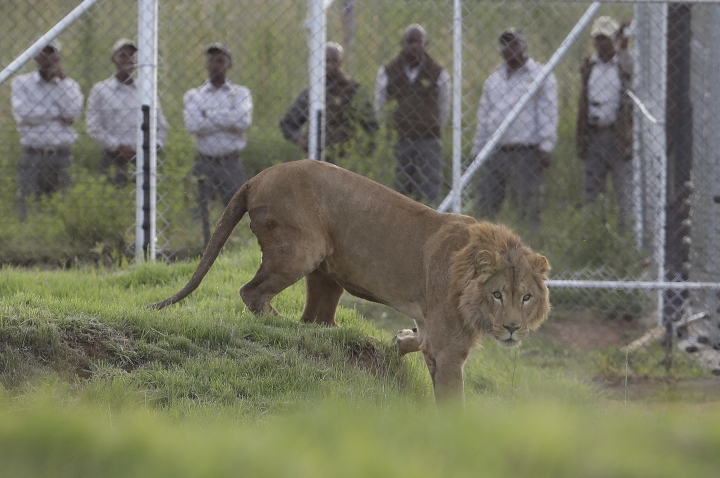 A 4-year-old lion named Simba, who was rescued from Syria by the animal rights group Four Paws, is released into an enclosure at the Lionsrock Lodge and Big Cat Sanctuary in Bethlehem, South Africa‎ in Bethlehem, South Africa, Monday, Feb. 26, 2018. Two lions rescued from neglected zoos in war zones in Iraq and Syria were transported to South Africa on Monday to live at a sanctuary with other animals that survived harsh conditions in captivity elsewhere in the world. (AP Photo/Themba Hadebe)